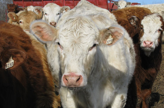 Close-up of cows on a farm
